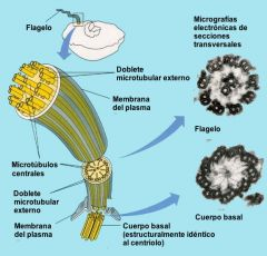 Los flagelos son usados para el movimiento, aunque algunos organismos pueden utilizarlos para otras funciones. Por ejemplo, los coanocitos de las esponjas que producen corrientes de agua que estos organismos filtran para obtener el alimento.La est...