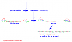 Thrombin converts Fibrinogen to Fibrin,    Stopping this prevents formation of fibrin mesh, making clot less stable