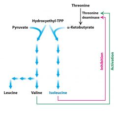 Isoleucine shares a common pathway with valine and leucine and thus these amino acids balance each other.  Production of isoleucine requires the enzyme Threonine deaminase to produce alpha-ketobutyrate to combine with Hydroxyethyl-TPP.  Valine doe...
