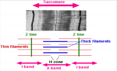 1. Z Line 2. Thick Filaments 3. H-Zone 4. I-Band 5. A Band 6. Thin filaments