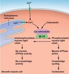 1. Calcium enters the cell after release from sarcoplasmic reticulum 2. Calcium binds to calmodulin 3. Ca++ - calmodulin complex activates the Myosin light chain kinase (MLCK) protein 4. MLCK phosphorylates light chains in myosin heads, increasing...