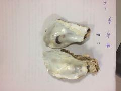 No taxodonta. Monomiaria e inequivalva. Valva derecha plana y hace de tapadera. Impresion muscular oscuro y concha gruesa.