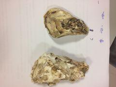 CLASE BIVALVA Crassostrea angulata. Valva derecha la superior.