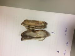 Charnela taxodonta. Concha alargada y cuandrangular. Periostraco sin barbas largas. Dientes charnela todos del mismo tamaño.