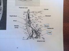 CLASE SCAPHOPODA. Fusión de una protoconcha bivalva en el embrión. Orificio posterior entrada y salida del agua. Orificio anterior esta el pie y la boca.