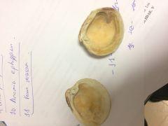 CLASE BIVALVA Venus verrucosa. Concha superior es la derecha.