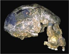 This skull shows some of the characteristics of H. erectus, including a long cranium, low forehead, large brow ridges, and