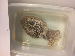 Concha interna, 8 brazos + 2 ventrolaterales, concha recta calcificada. Concha recta y laminar calcificada cuerpo rodeado por dos aletas dorsales que no se unen posteriormente .