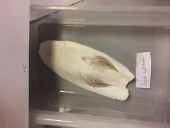 -CLASE CEFALOPODA   -SUBCLASE COLEOIDEOS       -ORDEN SEPIOOIDEA             Sepia officinalis
