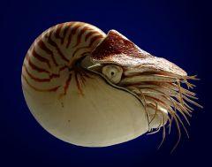 -CLASE CEFALOPODA      -SUBCLASE NAUTILOIDEOS             -Nautilus