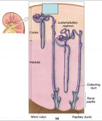 Describe the cortical nephrons.