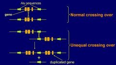 - May occur where gene is flanked by two copies of a repetitive sequence (e.g. Alu),