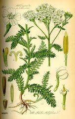 Species: Achillea millefolium Common Name: Yarrow  Family: Sunflower  Life Cycle: Perennial
