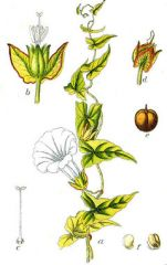 Species:Calystegia(Convovulus) sepium     Com. Name:bindweed   Fam:morningglory Life cycle: P