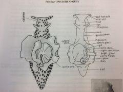 Cavidad paleal y branquial situadas a la derecha. Concha interna cubierta por el manto. Dos tentá***** cefálicos. y dos rinóforos enrollados. Parapodios. Sifón anal. Hermafroditas.