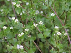 Species: Cerastium vulgatum    Com. Name:mouse ear chickweed Fam: Pinks Life cycle:  P