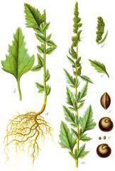 Species: Chenopodium album Com. Name: lambsquarter, pigweed Fam: goosefoot Life cycle: A