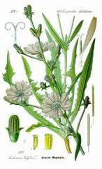 Species:Cichorium intybus Com. Name:chicory Fam: sunflower Life cycle: P