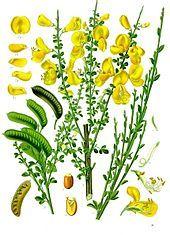 Species: Cytisus scoparius Com. Name: Scotch broom Fam: pea Life cycle: P