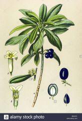 Species: Daphne laureola Com. Name: spurge Daphne Fam: mezereum Life cycle: P