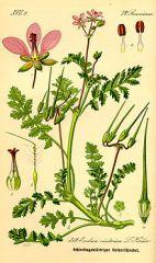 Species: Erodium cicutarium Com. Name: redstem filararee Fam: geranium Life cycle: a,b