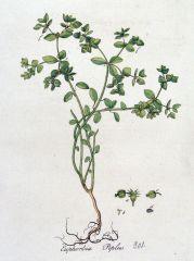 Species: Euphorbia peplus Com. Name: Petty spurge, cancer spurge   Fam: spurge Life cycle: a