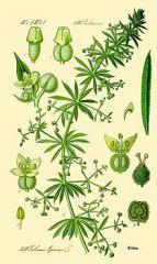 Species: Galium aparine  Com. Name: catchweed bedstraw Fam: madder  Life cycle: a