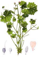 Species: Geranium molle Com. Name: dovefoot geranium Fam: geranium Life cycle: a