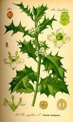 Species: Ilex aquifolium          Com. Name: English Holly Fam: aralia  Life cycle: p