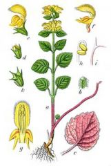 Species: Lamium (Lamiastrum) galeobdolon Com. Name: yellow archangel Fam: mint Life cycle: p