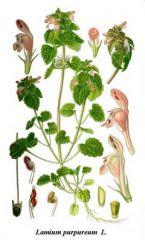 Species: Lamium purpureum Com. Name: red deadnettle  Fam: mint Life cycle: p