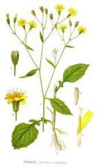 Species: Lapsana communis Com. Name: nipplewort Fam:  sunflower Life cycle: a
