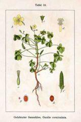 Species: Oxalis corniculata Com. Name: Oxalis corniculata Fam: woodsorrel Life cycle: p
