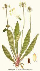 Species: Plantago lanceolata Com. Name: English or lanceleafplantain Fam: plantain Life cycle: p