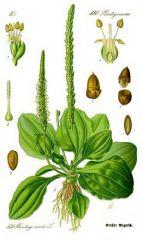 Species: Plantagomajor Com. Name: broadleafplantain  Fam: plantain Life cycle: P