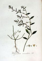 Species: Polygonum aviculare Com. Name: persicaria Fam:buckwheat Life cycle: a