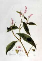 Species: Polygonum persicaria  Com. Name: spotted Ladythumb Fam: buckwheat Life cycle: a