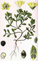 Species: Portulaca oleracea Com. Name: common pursulane  Fam: portulaca Life cycle: a
