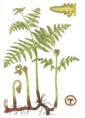 Species: Pteridium aquilinum Com. Name: Western brackenfern Fam: DENNSTAEDTIACEAE  Life cycle: P