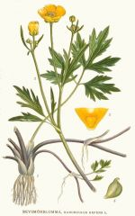 Species: Ranunculusrepens Com. Name: creepingbuttercup Fam: buttercup Life cycle: p