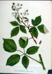 Species:  Rubus procerus  (syn.Armeniacus) Com. Name: Himalayan blackberry Fam: rose Life cycle: p