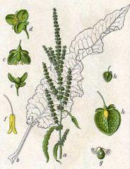 Species: Rumexcrispus      Com. Name: curlydock Fam: knotweed Life cycle: p