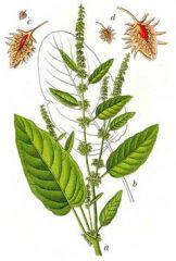 Species: Rumexobtusifolius Com. Name:  broadleafdock Fam: knotweed Life cycle: p