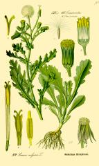 Species: Senecio vulgaris    Com. Name: Common Groundsel Fam: sunflower Life cycle: a