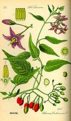 Species: Solanum dulcamara Com. Name:  bittersweet nightshade Fam:  nightshade Life cycle: p