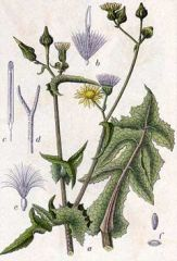 Species: Sonchus asper   Com. Name: spiny sowthistle Fam: sunflower Life cycle: A