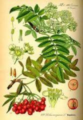 Species: Sorbus aucuparia Com. Name: european Mt. Ash Fam: rose Life cycle: p