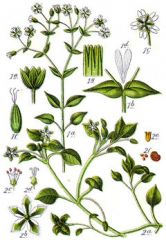 Species: Stellaria media Com. Name: common chickweed Fam: pinks Life cycle: a, wa