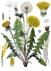 Species:  Taraxacumofficinale  Com. Name: dandelion Fam: sunflower  Life cycle: p