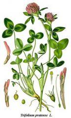 Species: Trifoliumrepens Com. Name: whiteclover Fam:  pea Life cycle: p